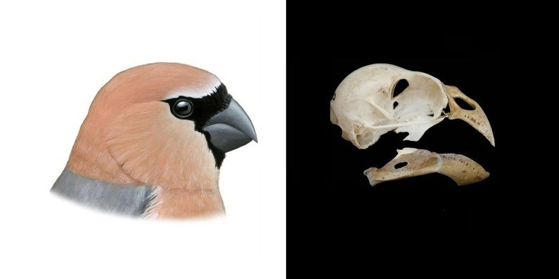 A new bird which humans drove to extinction discovered in Azores - HeritageDaily - Heritage & Archaeology News