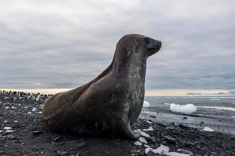 How a Wayward Antarctic Seal Ended Up on a Brazilian Beach