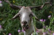 Firefighting goats: Portugal enlists help of surprising ally to prevent deadly bushfires - ABC News (Australian Broadcasting Corporation)