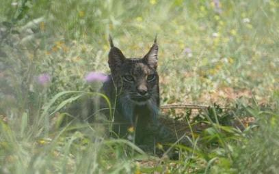 Rare Iberian lynx spotted in Barcelona for first time in a century after crossing from Portugal