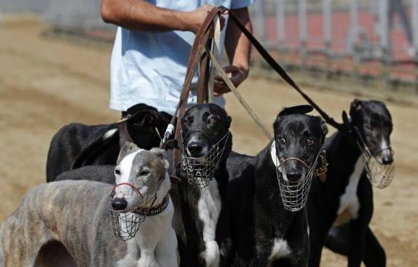 Macau authorities take in 533 dogs after Asia's only greyhound race track shuts - ABC News (Australian Broadcasting Corporation)