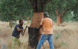 The cork harvest in Portugal — Jamie Goode's wine blog