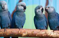 Blue bird from 'Rio' movie now extinct in the wild