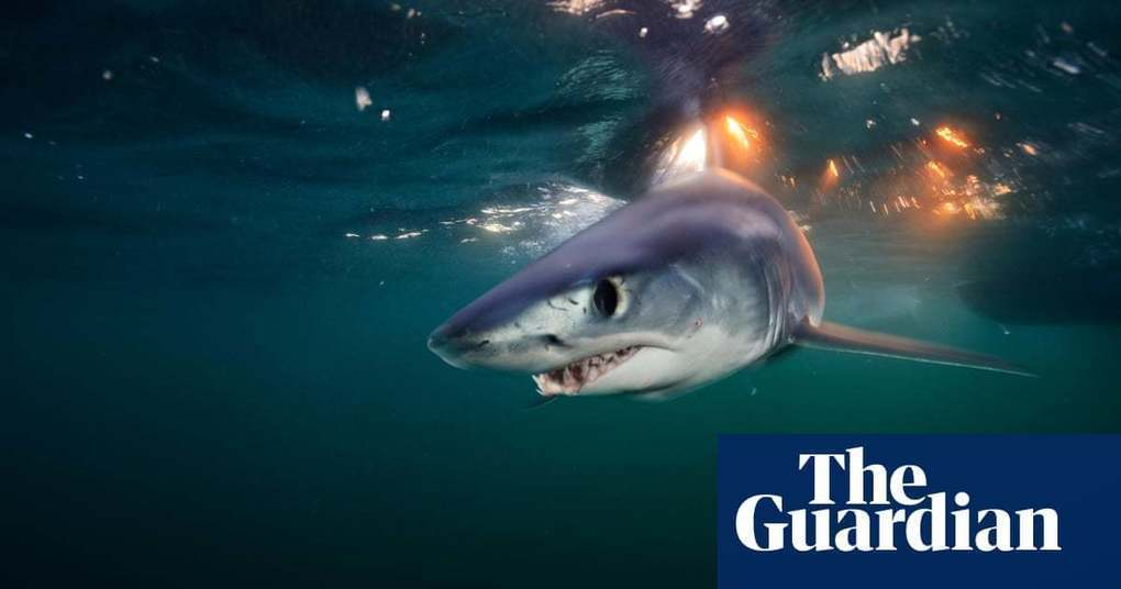 World's fastest shark speeding toward extinction | Environment | The Guardian