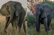 Elephants have EVOLVED to not grow tusks in Mozambique national park | Daily