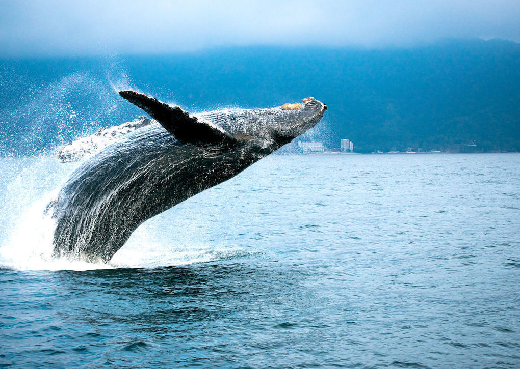Best places to go whale watching in spring: Hawaii, Mexico, Azores islands