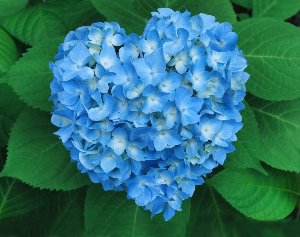 The Abundance of Hydrangea's on the Azores Islands –