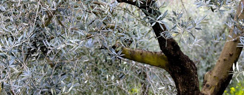 Olive Oil Production Data in Europe Reveal Divergent Trends