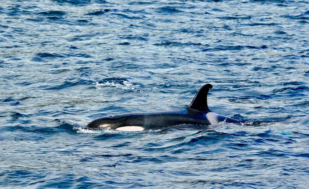 Azores: Orcas! –