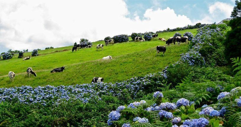 The Jaw Dropping 'Hydrangea Islands' in the Azores –