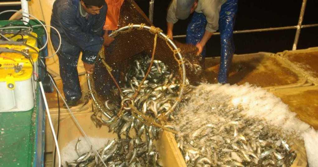 Portugal seeks to establish sardine aquaculture sector | The Fish Site