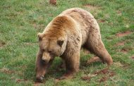 Spanish brown bear wanders across border into Portugal, the first in 175 years - The Local