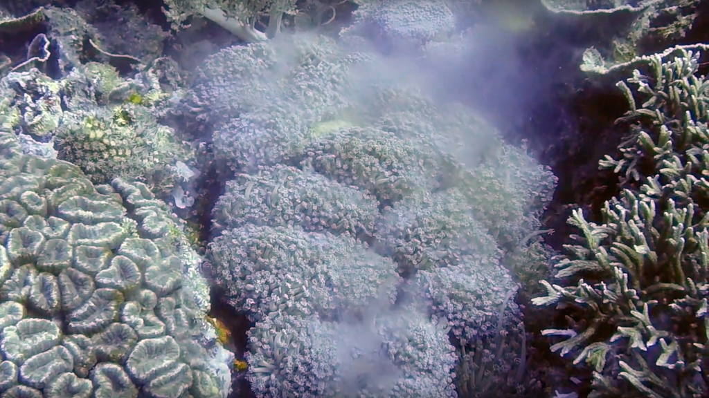 Witnessing the unknown: coral spawning in Timor-Leste