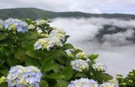 Why hydrangeas and the Azores are inextricably linked -