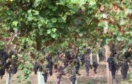 Alicante Bouschet: Can It Succeed as a Single Varietal Wine?
