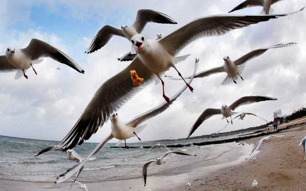 Australian seagulls carrying drug-resistant E.coli in superbug scare