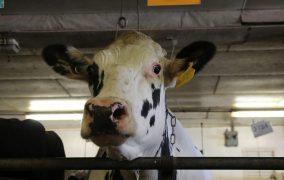 Most U.S. Dairy Cows Are Descended From Just 2 Bulls. That's Not Good : NPR -