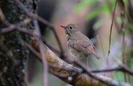 The Azores: Birding on Corvo in October 2019 -