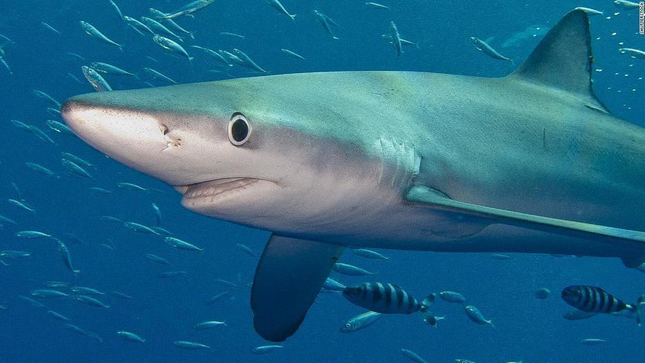 How sharks outlived dinosaurs and adapted to suit their environment -
