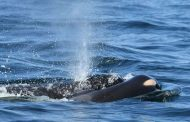 Killer whales swim 'remarkable' 4,000 miles from Iceland to Sicily - past Spain and Portugal