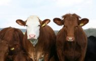 Angola Gets Fourth Batch of Cattle From Chad -