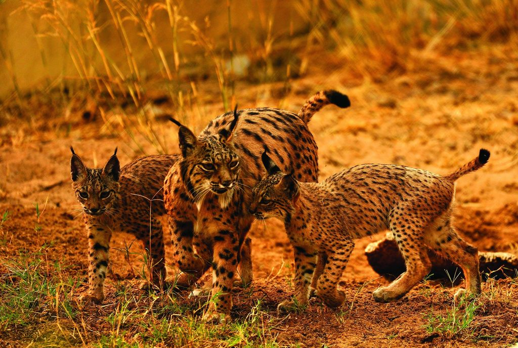 Supporting the reintroduction of the Iberian lynx in Portugal -