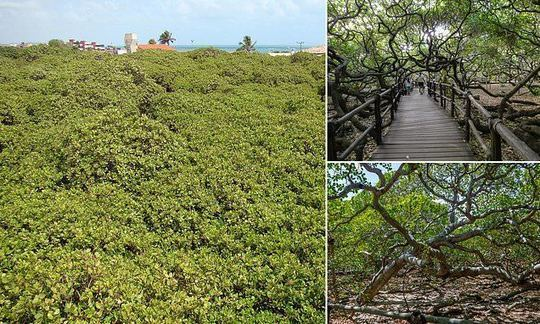 The world's largest cashew tree covers two acres of a park in Brazil and looks like a mini forest | Daily -