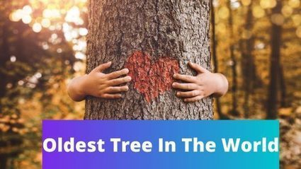 Top 10 Oldest Tree In The World -