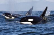 Scientists Baffled by Orcas Following and Ramming Boats Near Spain and Portugal in