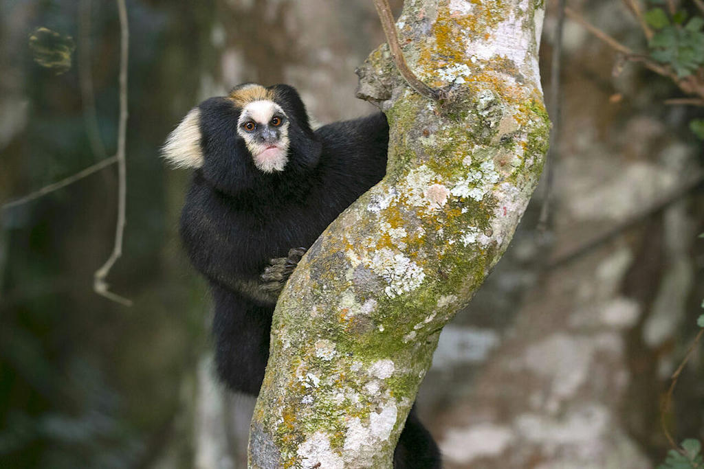 Won't Someone Please Think of Brazil's Least-Adorable Marmoset?