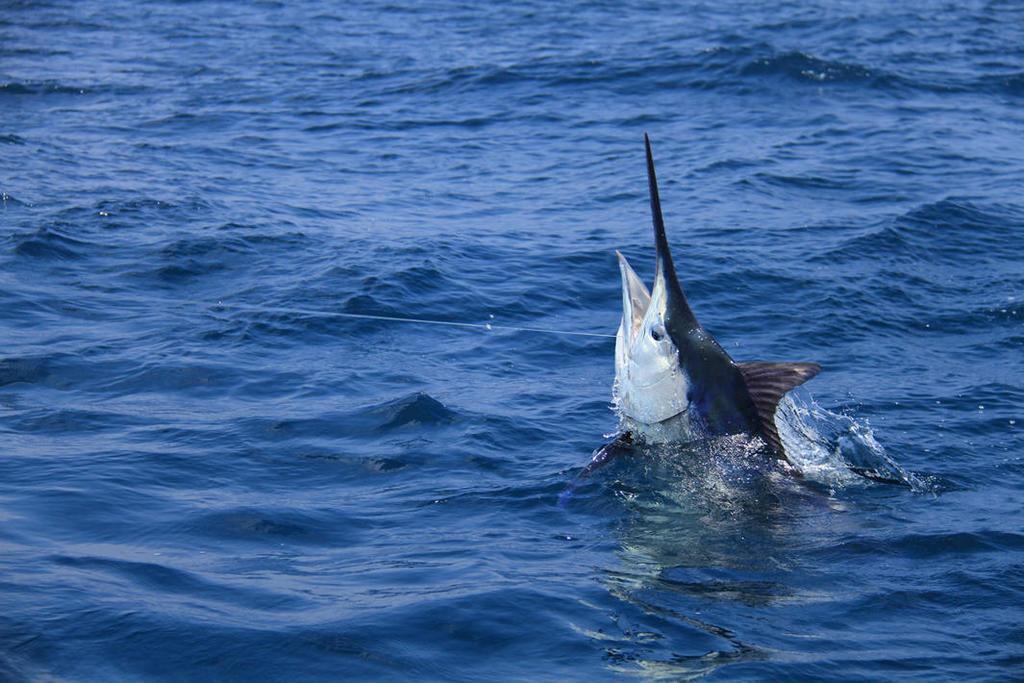 Massive 1,009 Pound Grander Marlin Caught In The Azores -